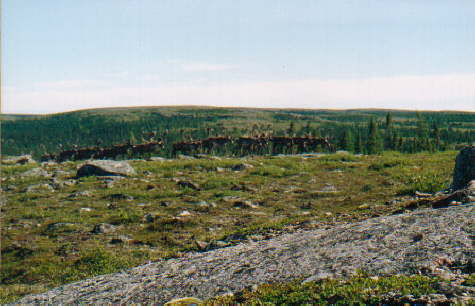 Herd-of-Caribou